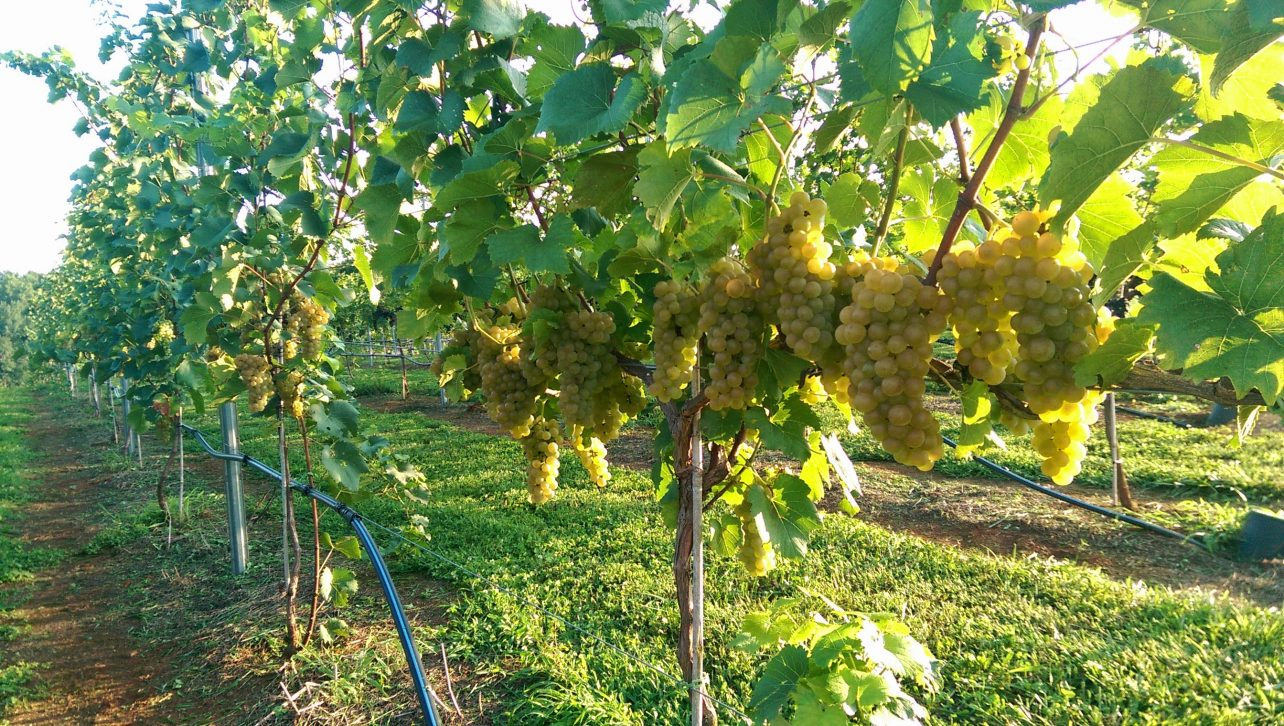 Chardonel ready to harvest NC Winery and Vineyard FireClay cellars