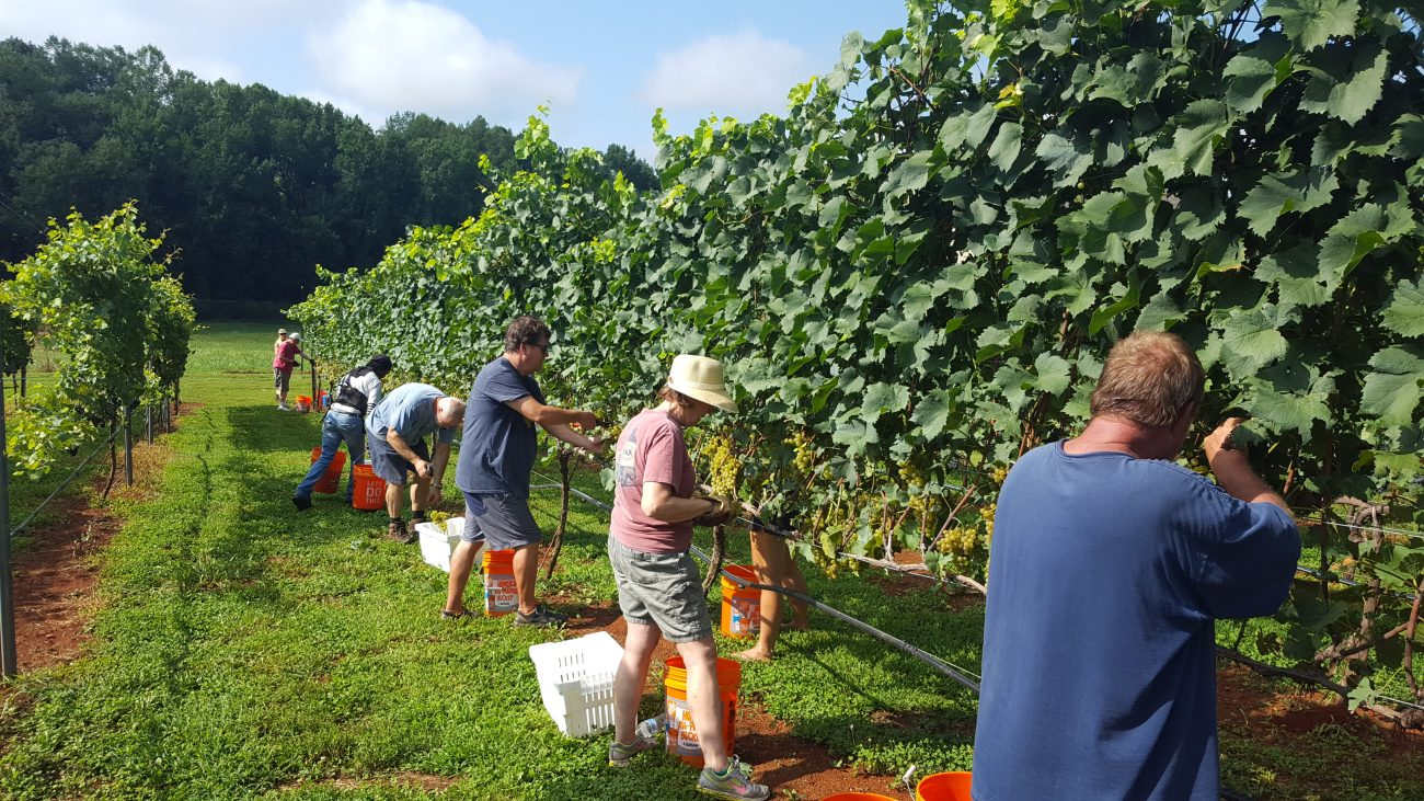 Harvest Season NC wine at FireClay Cellars Vineyard and Winery